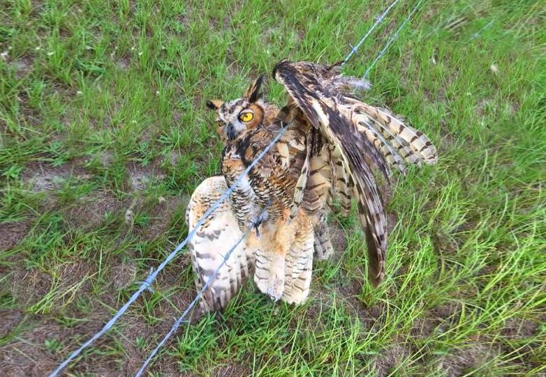 Vedações de arame farpado matam corujas, veados e muitos outros animais selvagens
