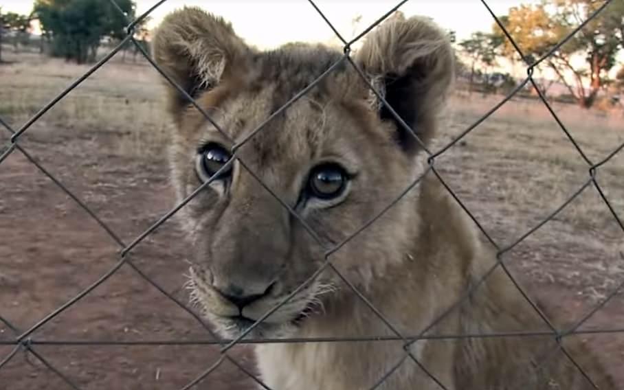 """Atrações turísticas com crias """"órfãs"""" de leão são fachada para comércio de ossos na África do Sul"""