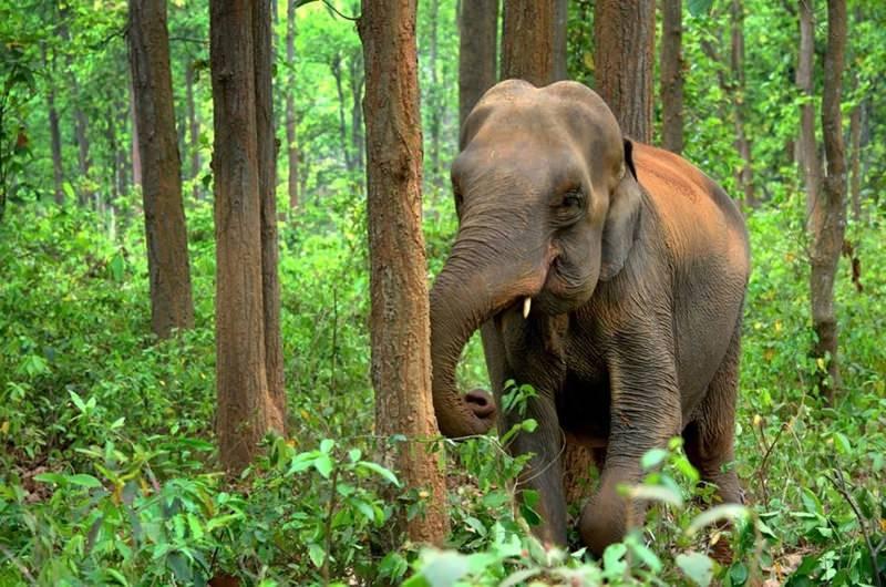 Estudo revela que elefantes plantam árvores e têm grande papel na estrutura florestal