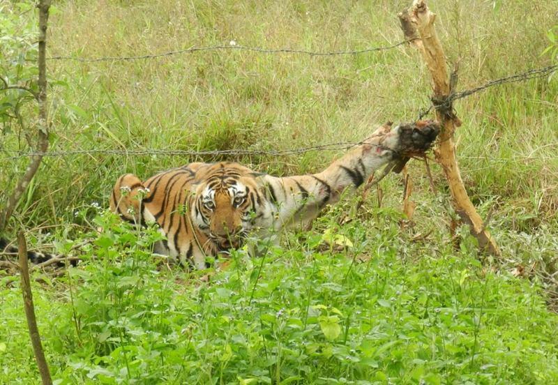 tigre com uma pata presa numa cerca de arame farpado