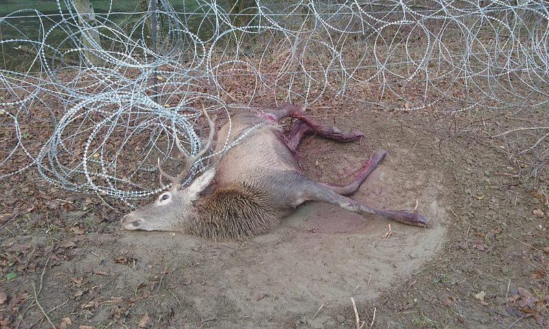 Veado morto enredado numa vedação de arame farpado na Eslovénia