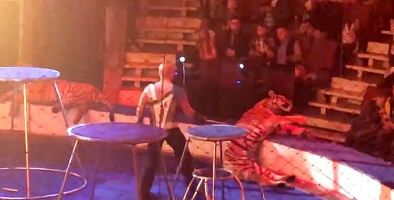 Tigre colapsa depois de número de circo com fogo e tratador arrasta-o pela cauda
