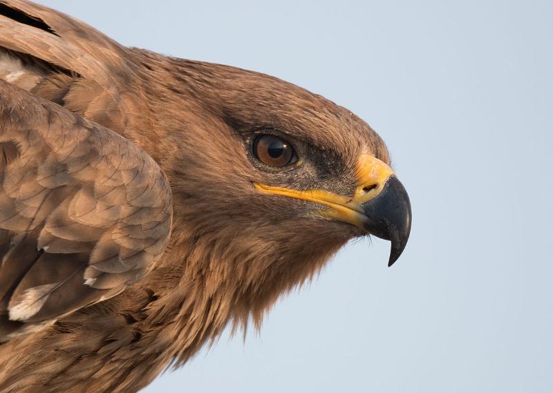 52% das aves de rapina têm populações em declínio