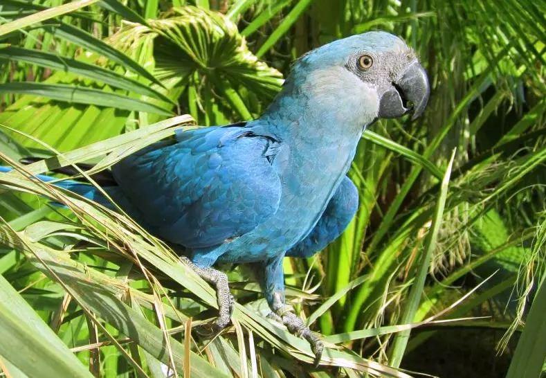 São 8 as primeiras extinções de aves confirmadas nesta década. A ararinha-azul é uma delas