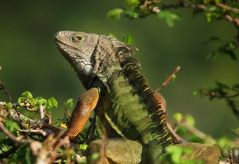 Animais exóticos baratos mais propensos a serem libertados na natureza pelos donos