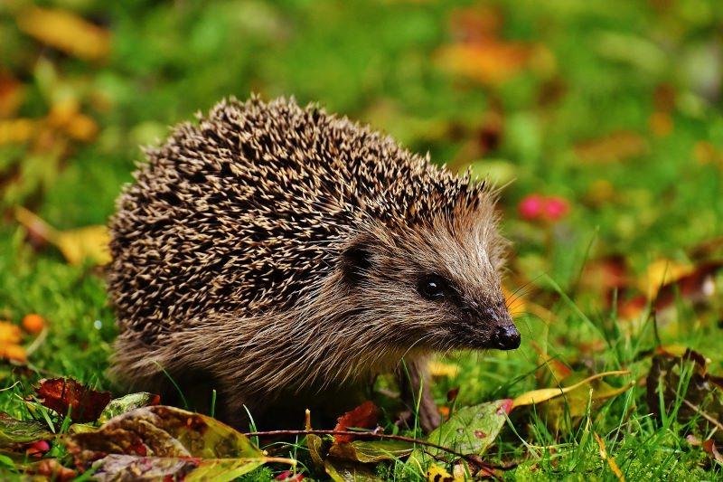 Os ouriços-cacheiros desapareceram da maioria das zonas rurais de Inglaterra e Gales