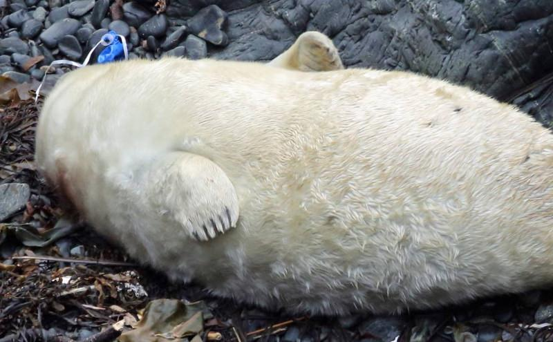Cria de foca com fio de balão