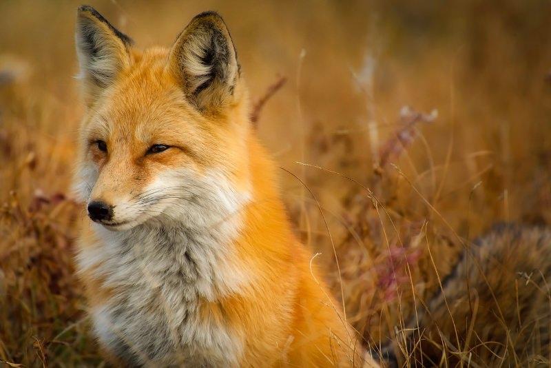 PSD, PS, CDS-PP e PCP chumbaram proibição da caça à raposa. Veja o vídeo da discussão na AR