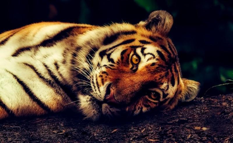 China legaliza comércio de produtos de tigre e de rinoceronte