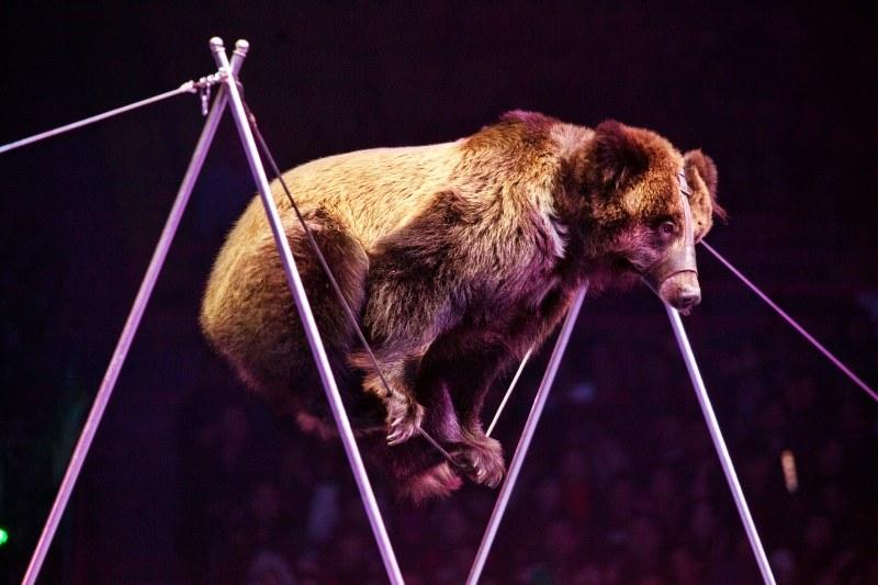 Urso com açaime anda na corda bamba no circo