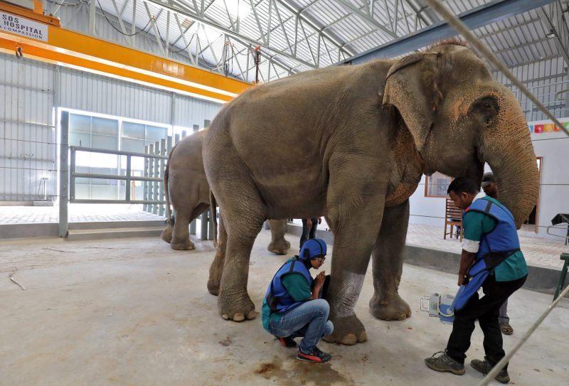 Elefante a ser tratado