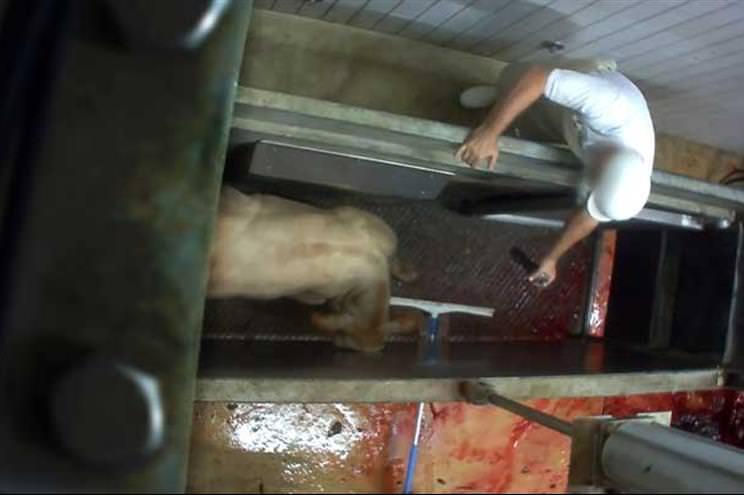 França: Matadouro biológico suspenso por esquartejar animais ainda conscientes