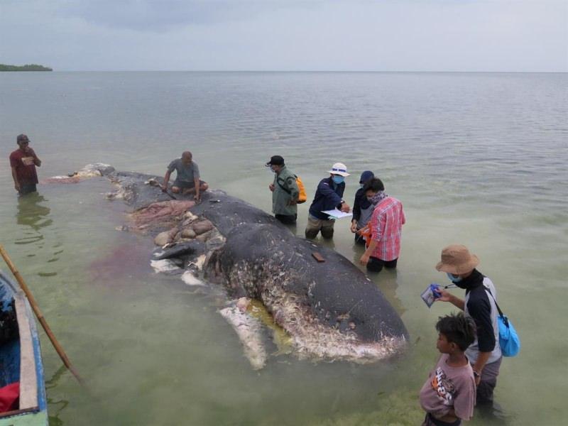 Indonésia: Baleia encontrada morta com 6 kg de plástico no estômago