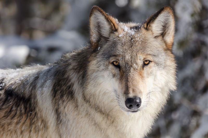 Cursos de água de Yellowstone recuperam graças à reintrodução de lobos no parque