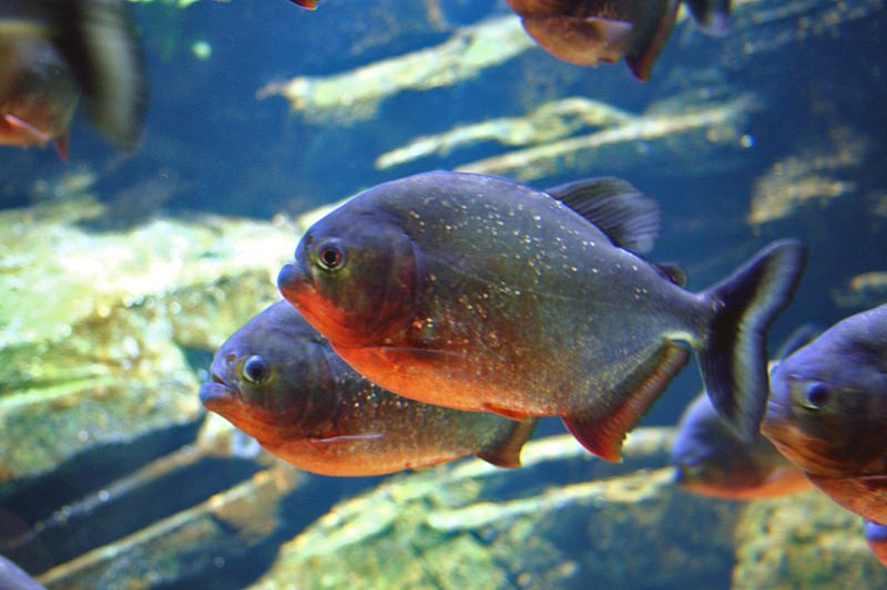 Peixes da bacia Amazónica também já têm partículas de plástico no estômago