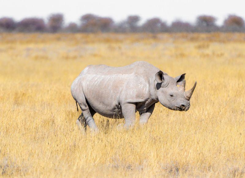 Vitória: China suspende lei que permitiria comércio de partes de tigre e rinoceronte