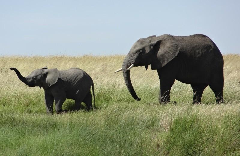 Holanda vai proibir a venda de marfim em bruto em 2019