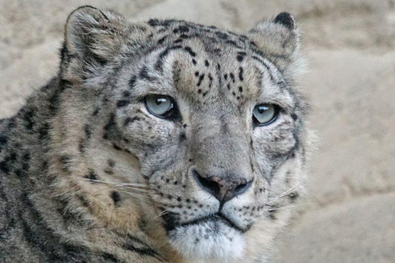 Leopardo-das-neves é morto a tiro em West Midlands depois de fugir de zoo