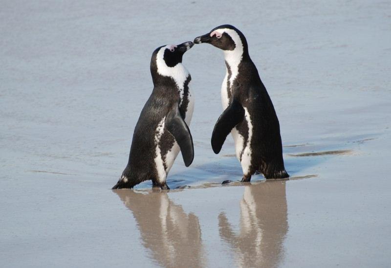 Pinguins africanos