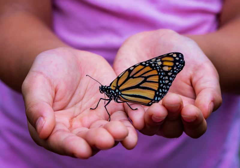 População de borboletas-monarcas da Califórnia sofre declínio vertiginoso de 86%