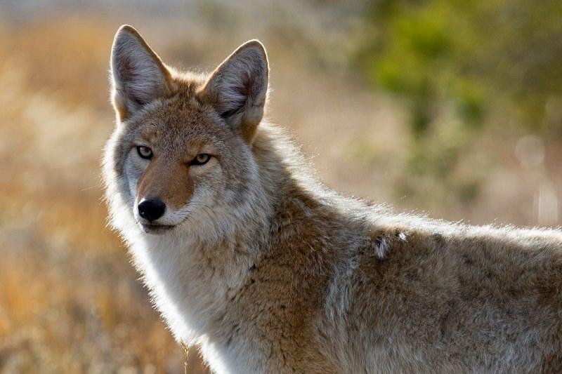 Novo México proíbe os concursos de abate de coiotes em terras públicas