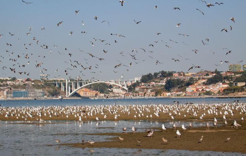 Alerta: há mais microplásticos do que larvas de peixes no estuário do rio Douro