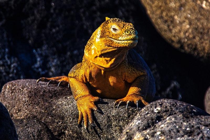 Após 200 anos, iguanas terrestres regressam a ilha das Galápagos
