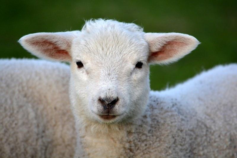 Bélgica proíbe sacrifícios religiosos de animais