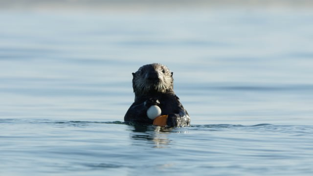 Lontra-marinha segura uma bola de golfe
