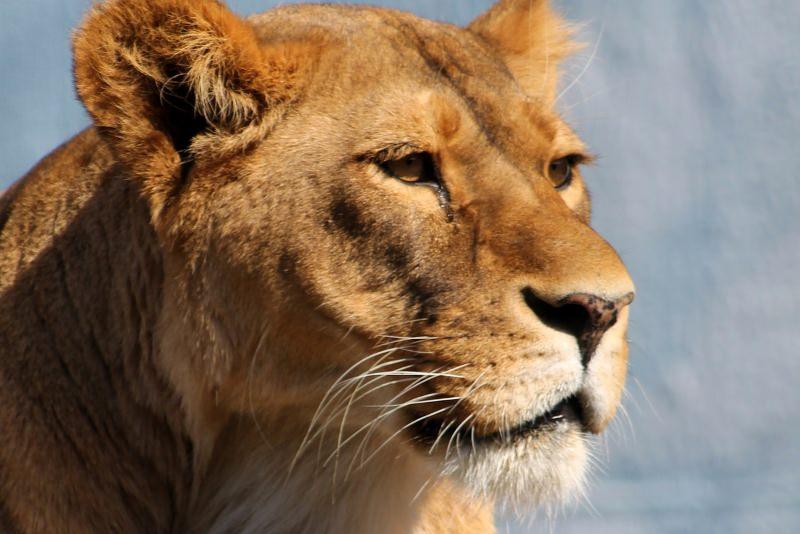 Zoo remove garras a leoa para as crianças poderem brincar com ela