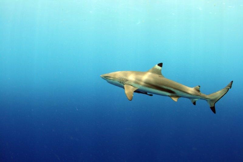 Havai quer tornar ilegal o abate de tubarões