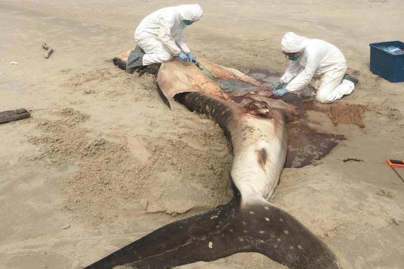 Tubarão-baleia morre de fome depois de ingerir saco de plástico no mar