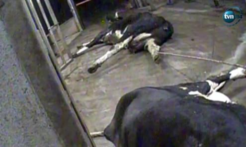 Vacas doentes