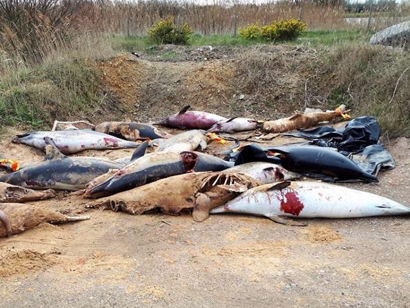 Centenas de golfinhos mutilados, vítimas de redes de pesca, dão à costa em França