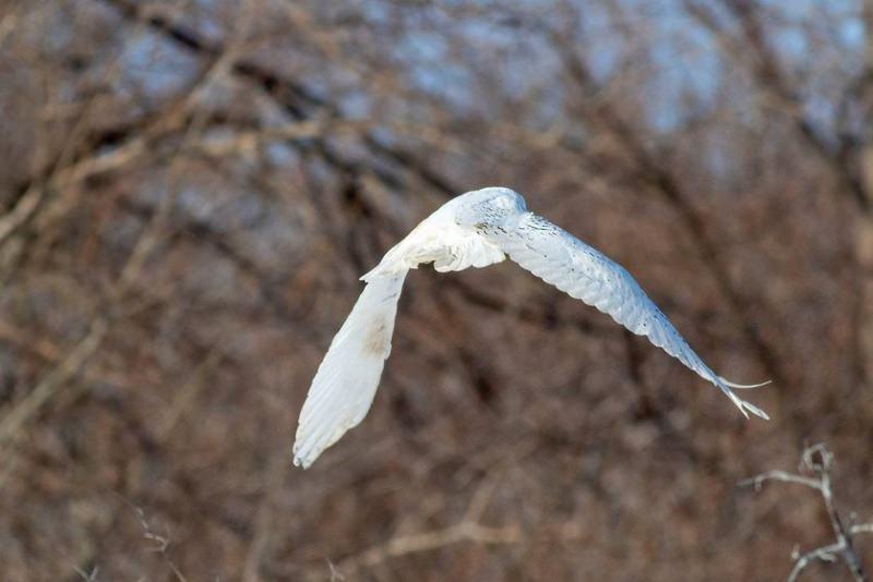 Libertação da coruja-das-neves
