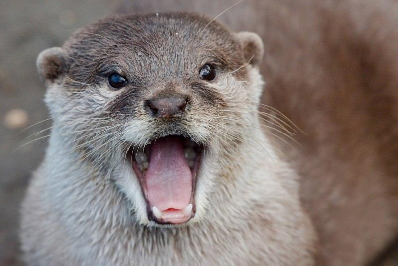 """Lontras, martas, arminhos e outros carnívoros regressam """"em força"""" à Grã-Bretanha"""