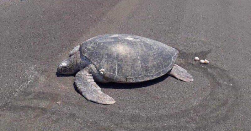 Tartaruga ameaçada regressa à praia para pôr ovos e encontra uma pista de aterragem construída