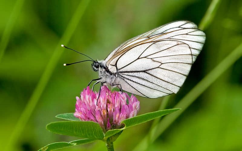 Borboleta branca-do-pilriteiro