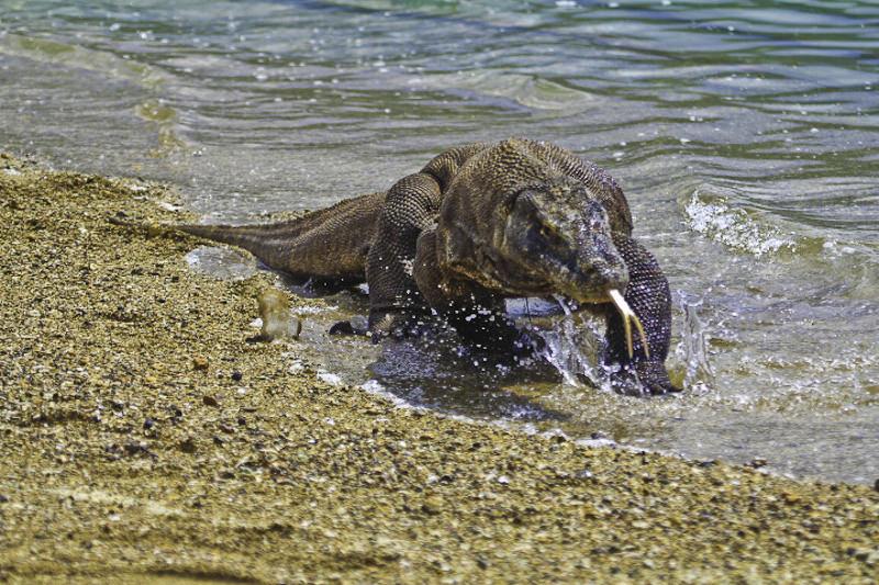 Indonésia encerra ilha aos turistas para proteger os dragões de Komodo