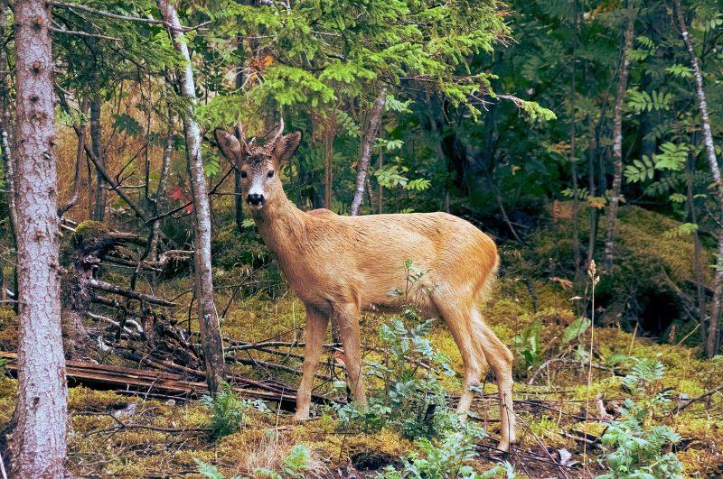 Reintrodução do corço nas serras da Arada, Freita e Montemuro já soma mais de 100 animais