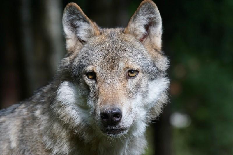 Lobos regressam à Holanda após 140 anos