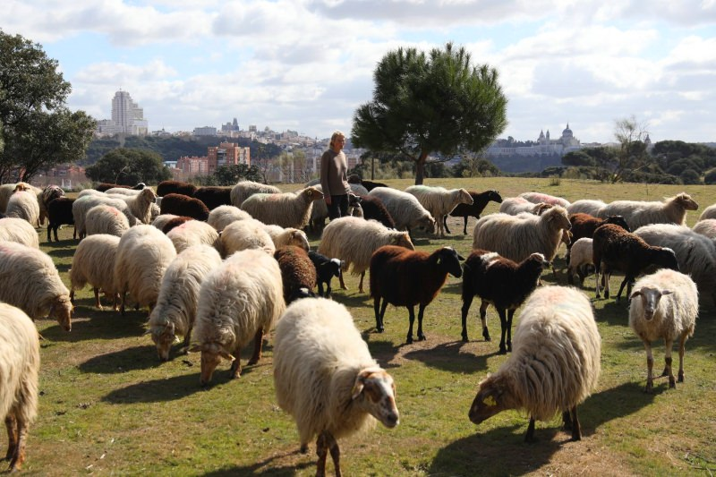 Ovelhas vão limpar a vegetação e prevenir incêndios no maior parque de Madrid