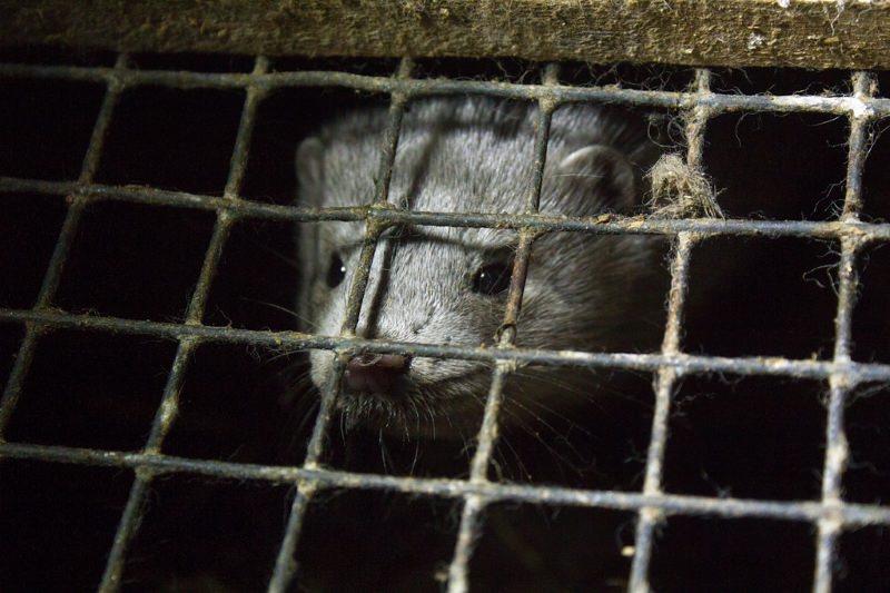 Última quinta de produção de peles de animais na Alemanha encerra