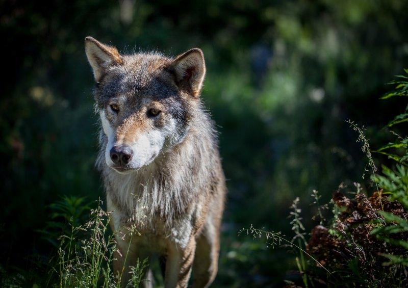 Híbridos de lobo e cão ameaçam os lobos da Europa, dizem cientistas