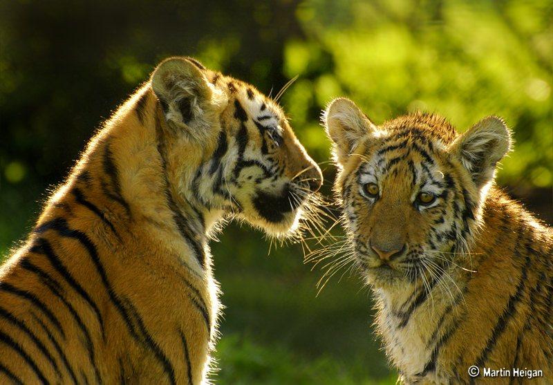 Baby boom: 11 crias de tigre avistadas numa só semana em Madhya Pradesh, Índia