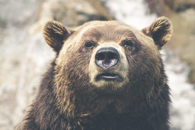 Urso pardo que visitou Bragança terá voltado para Espanha