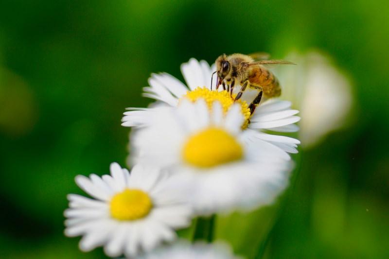 Minnesota vai pagar às pessoas para converterem os relvados em habitat para abelhas
