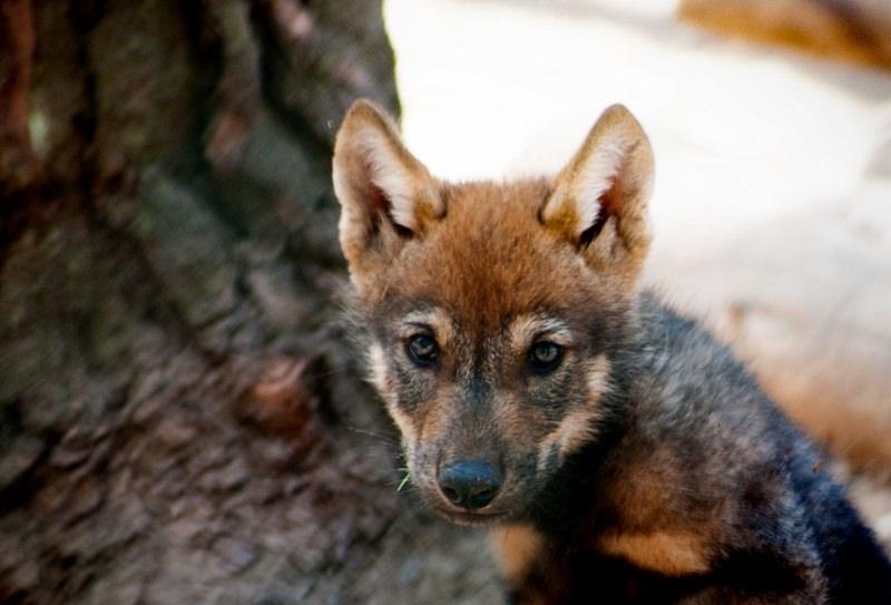 Na Holanda, nascem as primeiras crias de lobo em 200 anos