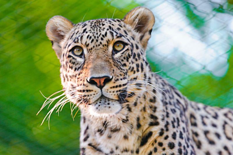 Irão vai implementar um programa para a conservação do leopardo persa