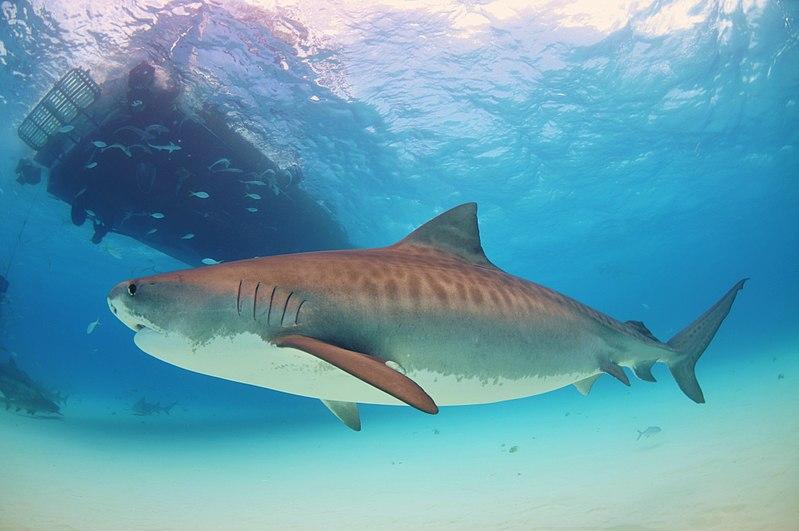 Canadá proíbe o comércio de barbatana de tubarão
